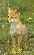Photo of coyote.